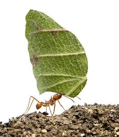 small ant carrying a leaf